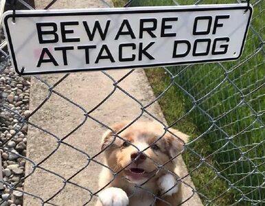 Te psy miały odstraszać nieproszonych gości. Efekt jest przekomiczny