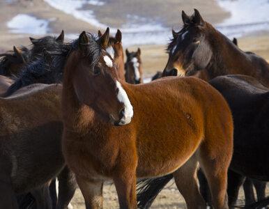 USA: Jest rekomendacja, by zabić niemal 45 tysięcy dzikich koni