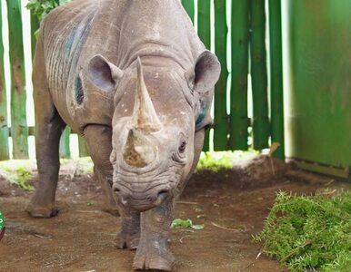 Nie żyje najstarszy nosorożec czarny. Fausta miała 57 lat