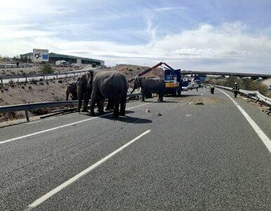 Po autostradzie w Hiszpanii biegały... słonie. Widok przyciągnął tłumy...