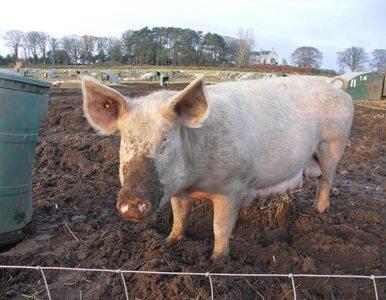 Rolnicy protestowali przez świnie i Ukrainę
