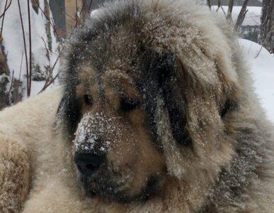 Ten pies wygląda jak lew albo yeti. Oto uroczy mastif tybetański