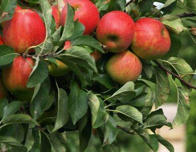Rosjanie uzależnieni od polskich jabłek