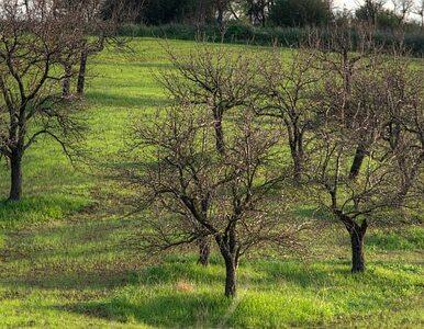 """Plantacja drzew energetycznych w Polsce. """"Czegoś takiego nie ma w Europie"""""""