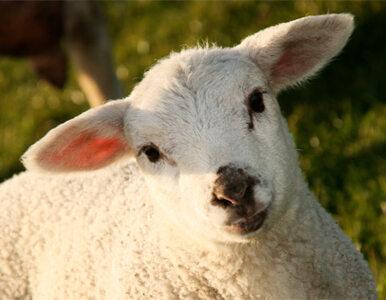 Owce wolno zabijać, nie fotografować