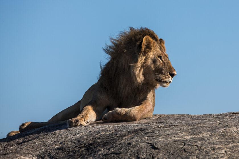 Lew, zdjęcie ilustracyjne