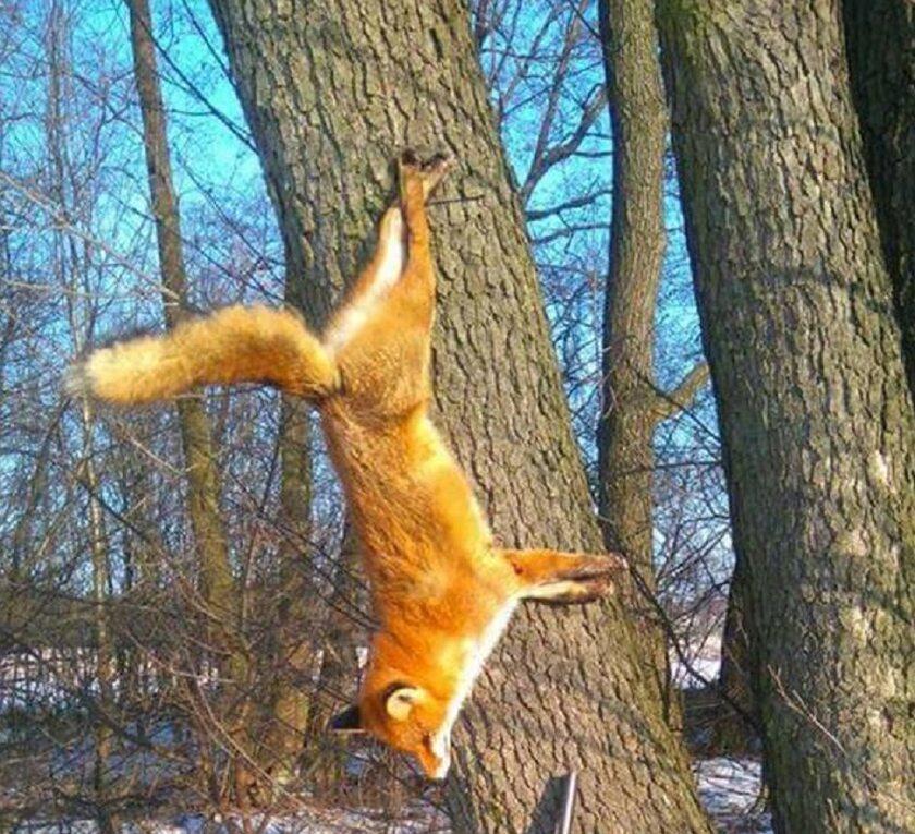 Lis przybity do drzewa