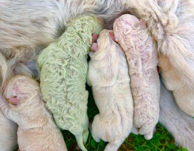 Wyjątkowe narodziny. Na świat przyszedł szczeniak, który ma zielone futerko