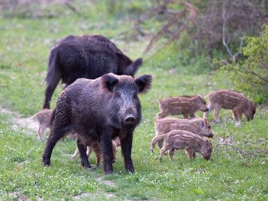 Wirus ASF atakuje zwierzęta w Polsce. Na Mazowszu wydano zgodę na odstrzał