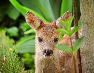 Znalezione w trawie sarny nie potrzebują pomocy