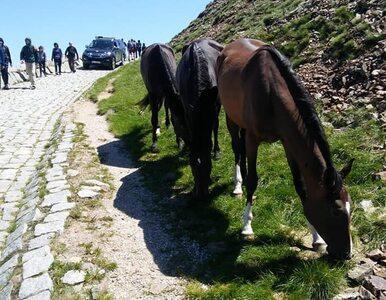 Konie uciekły z hodowli. Postanowiły wejść na Śnieżkę